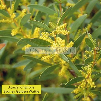 Acacia Longifolia, Sydney Golden Wattle