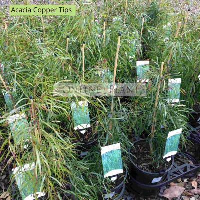 Acacia Copper Tips