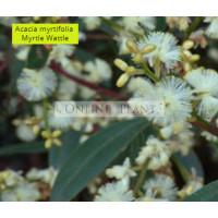 Acacia Myrtifolia, Myrtle wattle