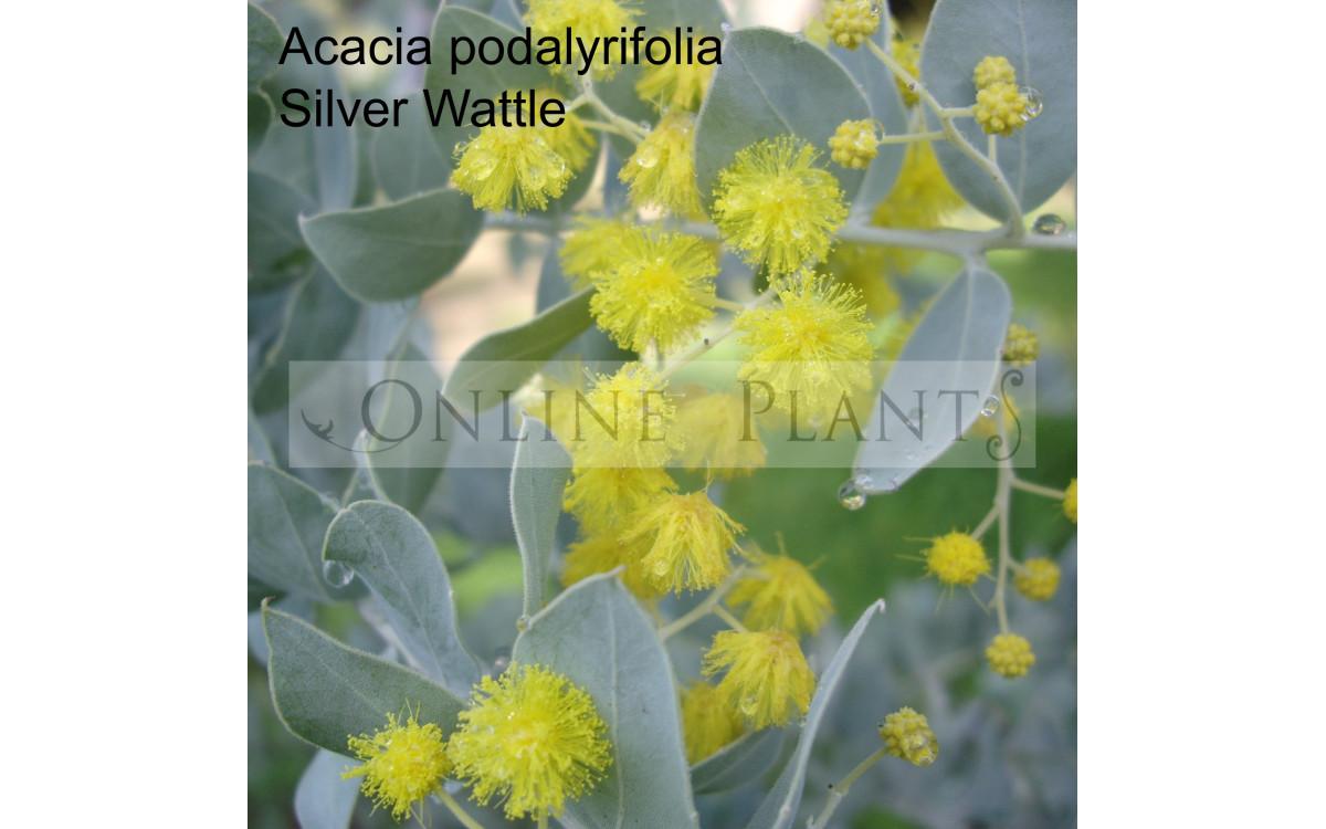 Most Iconic Australian Plants - Acacia Wattle