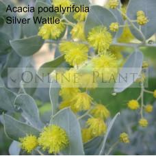 Acacia Podalyriifolia, silver wattle