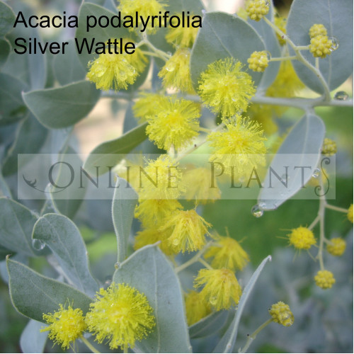 Acacia Podalyriifolia Silver Wattle For Sale Online Plants Melbourne