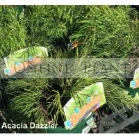 Acacia Dazzler