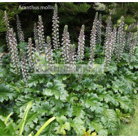 Acanthus mollis Bears Oyster Plant