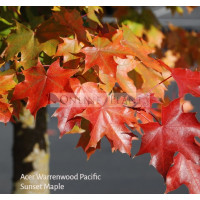 Acer platanoides, Warrenred Pacific Sunset Maple