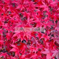 Acer palmatum, Osakazuki Japanese Maple