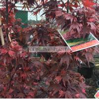 Acer plamatum Shaina