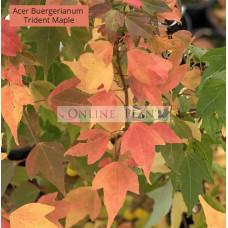 Acer buergerianum, Trident Maple
