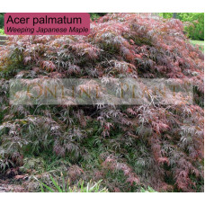 Acer palmatum Weeping Japanese Maple