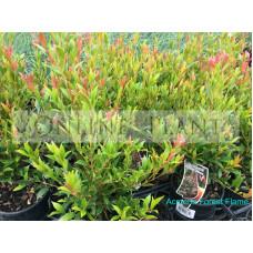 Acmena smithii Forest Flame Lilly Pilly