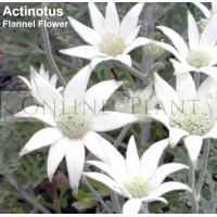 Actinotus helianthi, flannel flower