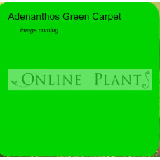 Adenanthos Green Carpet, Woolly Bush