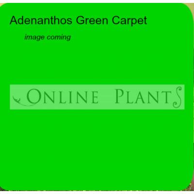 Adenanthos Green Carpet, Woolly Bush
