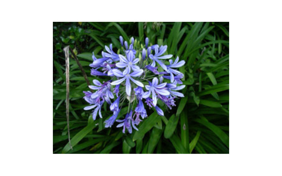 Agapanthus – A Stunning Addition To Your Landscape