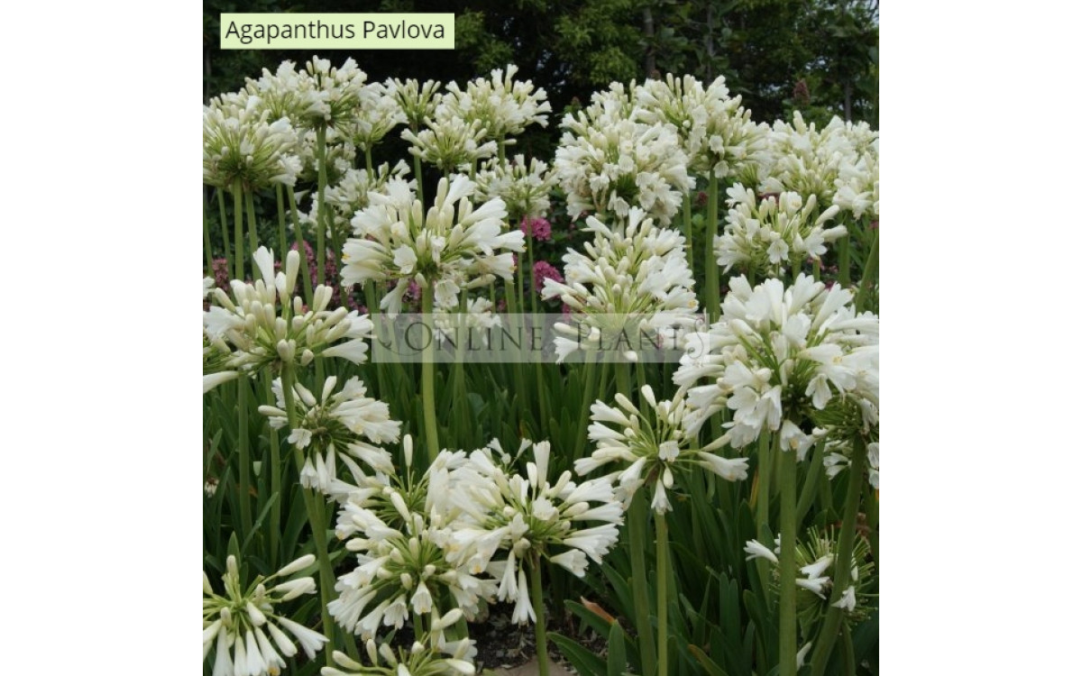 How to grow Agapanthus?