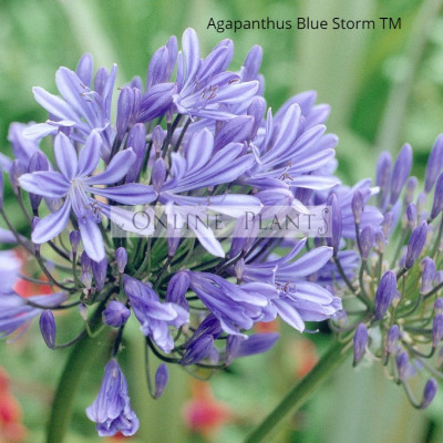 Agapanthus Bluestorm ™