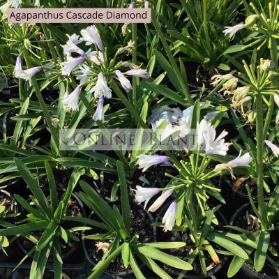 Agapanthus Cascade Diamond