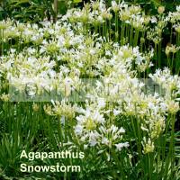 Agapanthus Snowstorm