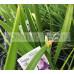 Agapanthus Sugar Plum™