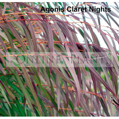 Agonis Claret Nights