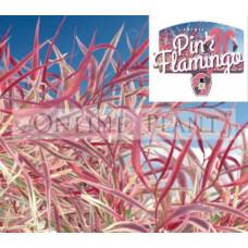 Agonis Pink Flamingo
