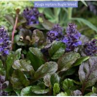 Ajuga reptans Bugle weed