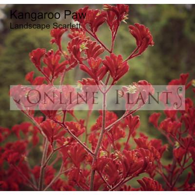Anigozanthos Landscape Scarlet Kangaroo Paw