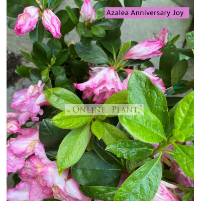 Azalea Anniversary Joy