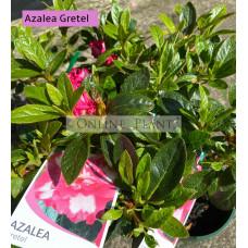 Azalea Gretel