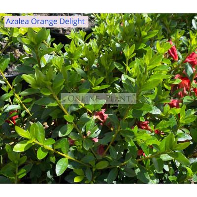 Azalea Orange Delight