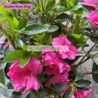 Azalea Rose King
