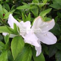 Azalea Magnifica White