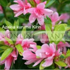 Azalea kurume Kirin