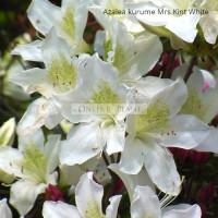 Azalea Kurume, Mrs Kint White