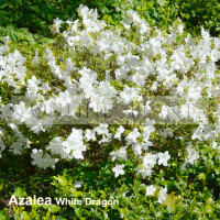 Azalea White Dragon
