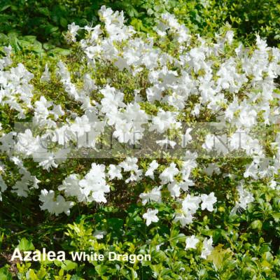 Azalea White Dragon