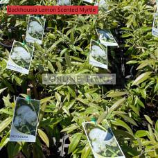 Backhousia myrtifolia Lemon scented Myrtle