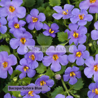 Bacopa Blue