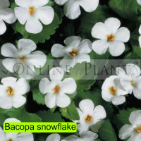 Bacopa Snowflake
