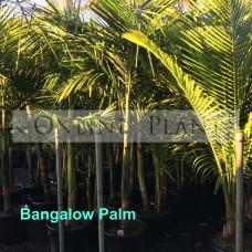 Archontophoenix cunninghamiana Bangalow Palm