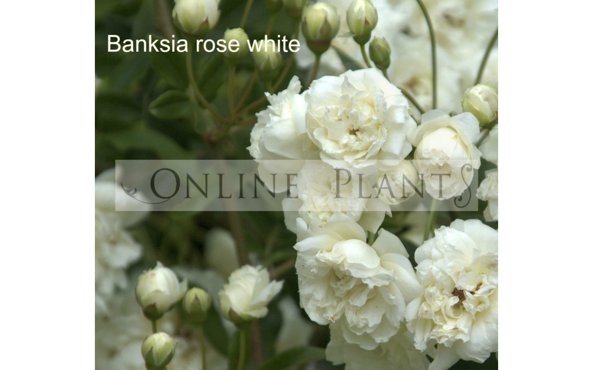 How to Grow Different Banksia Species