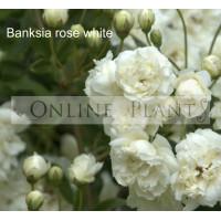 Banksia rose white alba