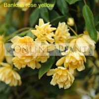 Banksia rose yellow lutea