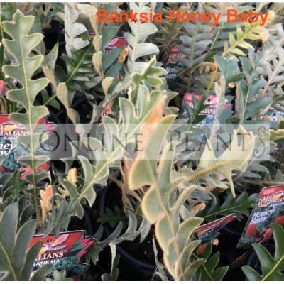 Banksia Honey Baby