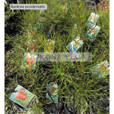 Banksia Occidentalis Waterbush Banksia