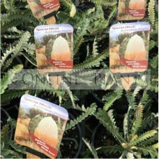 Banksia Prinotes Acorn Banksia