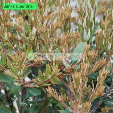 Banksia integrifolia Sentinel™
