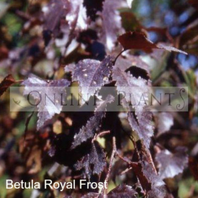 Betula Populifolia 'Royal Frost' Birch
