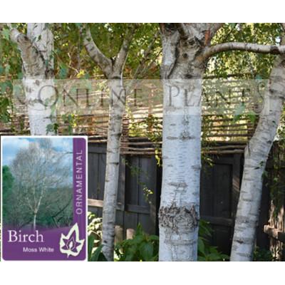 Betula pendula Moss White Silver Birch