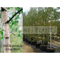 Betula Pendula Alba, Silver Birch